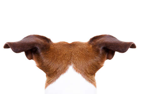 in behind: jack russell dog looking and staring somewhere, from behind back rear torso, isolated on white background