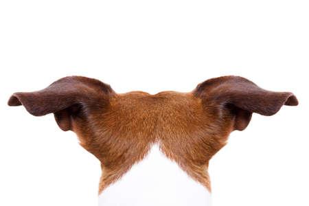 espalda: perro Jack Russell mirando y mirando en alguna parte, desde el torso a espaldas trasera, aislado en fondo blanco