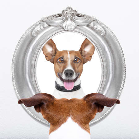 jack russell dog looking at the mirror his  crazy silly funny face