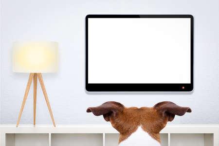 computadora: jack russell, perro delante de una pantalla de ordenador de televisión TV o PC en blanco y vacío, y observando, en su sala de estar Foto de archivo