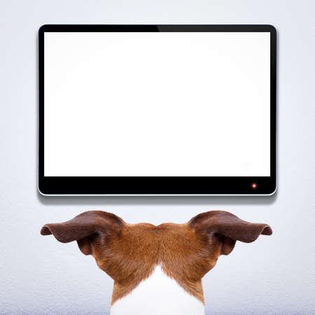 pokoj: jack russell pes před prázdnou a prázdné tv televizi nebo počítač na obrazovce počítače, sledování a vypadá velmi opatrně, co je na