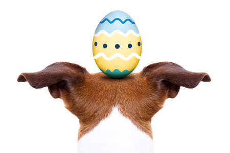 jack russell dog with an easter egg on his head, from back and behind , isolated on white background Stock Photo