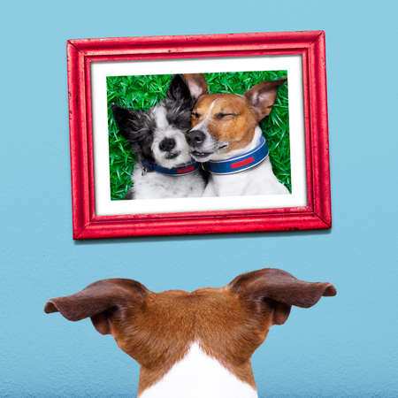 remembering: jack russell dog from back behind , watching ,looking or staring  his big love in a frame at the wall, remembering old good times