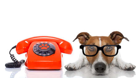 call center people in isolated: jack russell dog with glasses as secretary or operator with red old  dial telephone or retro classic phone Stock Photo