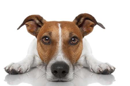 perro Jack Russell mirando y mirando a usted, mientras yacía en el suelo o en el suelo, aislado en fondo blanco Foto de archivo