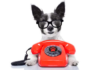 secretarias: perro terrier negro con gafas como secretario u operador con rojo viejo teléfono de línea o por teléfono clásico retro