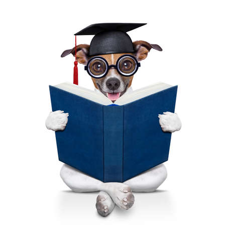 master degree: jack russell  graduated diploma dog sitting reading a big book, isolated on white background