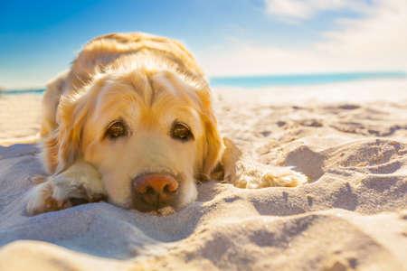 perros graciosos: perro golden retriever relajarse, descansar o dormir en la playa, bajo el sol brillante Foto de archivo