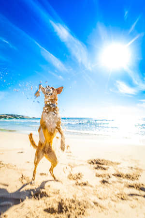 terrier dog having fun,running , jumping and playing at the beach on summer holidays Stock Photo