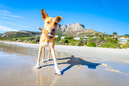 holiday pets: terrier dog having fun,running , jumping and playing at the beach on summer holidays Stock Photo