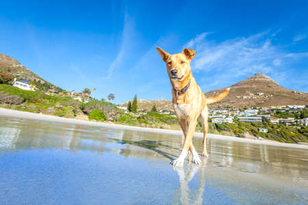 summer dog: terrier dog having fun,running , jumping and playing at the beach on summer holidays Stock Photo