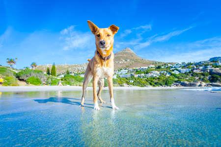 férias: cão terrier se divertindo, correr, saltar e brincar na praia em férias de verão
