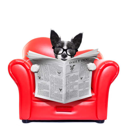 paw smart: terrier dog reading newspaper on a red sofa , couch, or lounger , in living room , isolated on white background