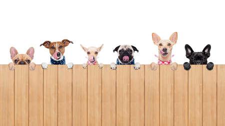 högtider: rad av hundar som grupp eller team, alla hungriga och tonge sticker ut, bakom en mur av trä, isolerade på vit bakgrund