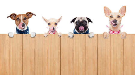 tongue out: row of dogs as a group or team , all hungry and tonge sticking out , behind a wall of wood , isolated on white background