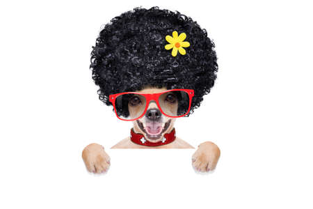cool funny crazy silly chihuahua  dog wearing an afro look wig and yellow flower and red  sunglasses, behind white empty blank banner or placard, isolated on white background