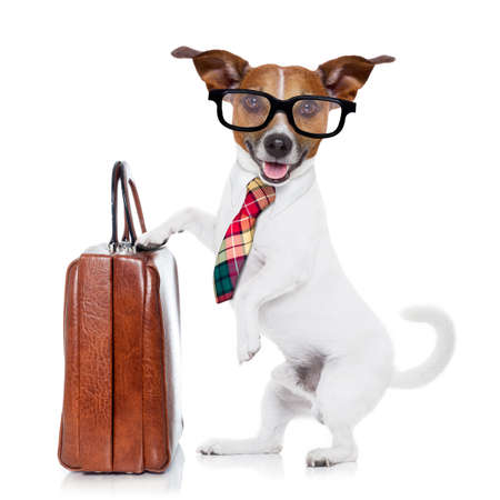 jack terrier: jack russell dog office worker with tie, black glasses holding a suitcase or bag luggage,  isolated on white background
