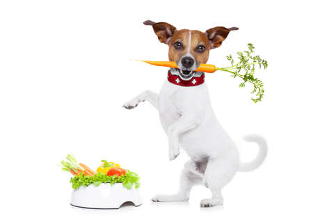 russell: jack russell dog  with  healthy  vegan food bowl, isolated on white background, while standing