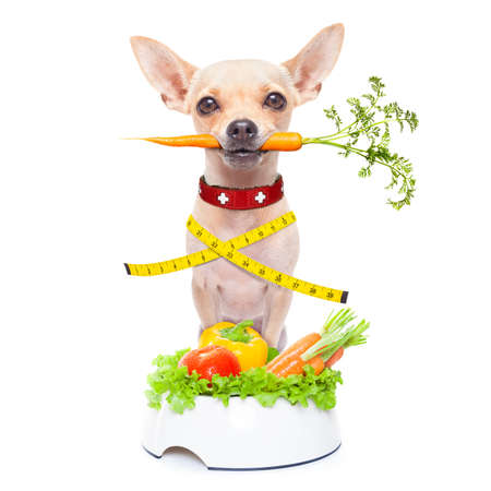 healthy hungry chihuahua dog with measuring tape and a healthy vegan food bowl , carrot in mouth, isolated on white background Stock Photo