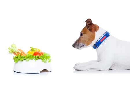 jack russell terrier: jack russell dog  with  healthy  vegan food bowl, isolated on white background, while sitting on the floor Stock Photo