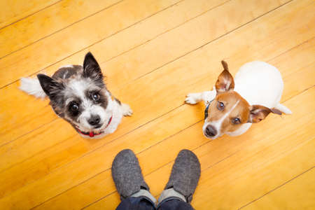 dog owner: two dogs begging  looking up to owner begging  for walk and play ,on the floor inside their home