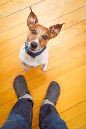 pets: jack russell dog ready for a walk with owner begging, sitting and waiting ,on the floor inside their home Stock Photo