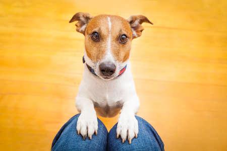 perros graciosos: jack russell perro listo a dar un paseo con el dueño o con hambre, mendicidad en la vuelta, dentro de su casa