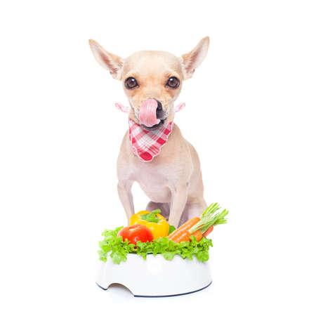 perro comiendo: perro chihuahua con saludable plato de comida vegetariana, aislado sobre fondo blanco