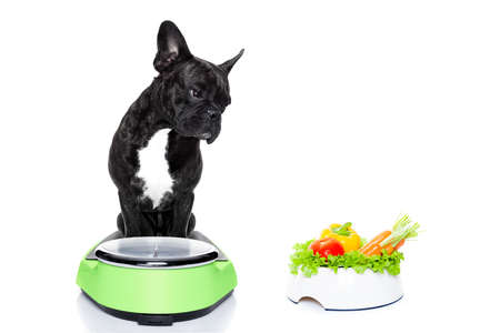 comida: perro bulldog francés con saludable plato de comida vegana, sentado en una escala de peso, aislado en fondo blanco