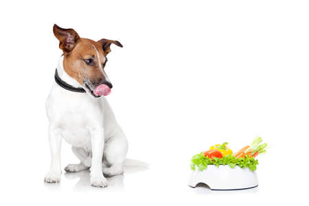 white dog: jack russell dog  with  healthy  vegan food bowl, isolated on white background Stock Photo