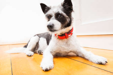 dog collar: Black terrier dog sitting and resting at home on the floor looking thoughtful, wearing red collar Stock Photo