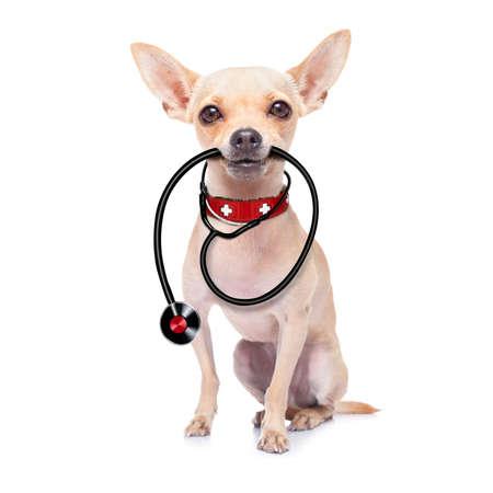 estetoscopio: chihuahua como médico veterinario con el estetoscopio, aislado en fondo blanco