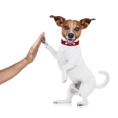 ジャック ラッセルの足と高 5 犬の幸せな所有者の手でと白い背景に分離されたチームと完璧なカップルとして彼らの成功を祝う