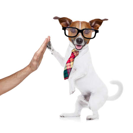 jack russell dog high five with paws with hand of owner , happy and celebrating their success as a partner and   business team  , isolated on white background