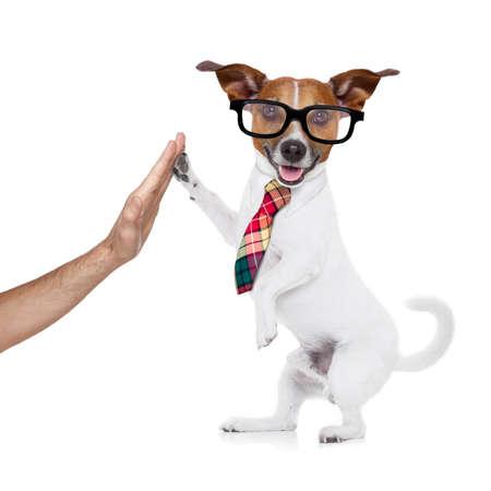 on high: jack russell perro alta cinco con patas con la mano del propietario, feliz y celebrando su éxito como equipo asociado y de negocios, aislados en fondo blanco