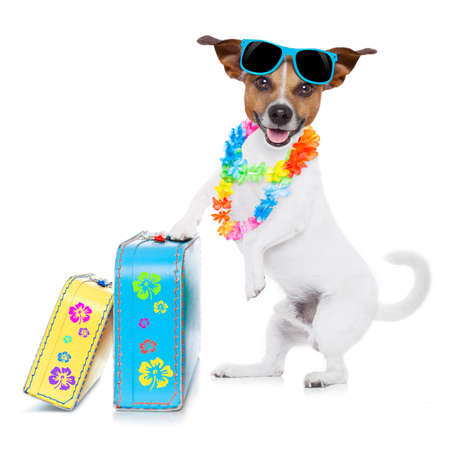hawaiian lei: jack russell dog packing luggage and baggage and a suitcase for summer holiday vacation, wearing sunglasses and a flower chain isolated on white background Stock Photo