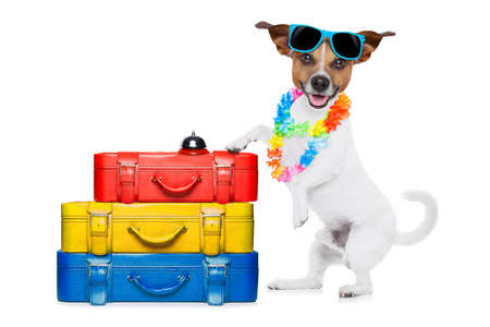 holiday pets: jack russell dog checking in at hotel with a lot luggage and baggage and a suitcase for summer holiday vacation, wearing sunglasses and a flower chain isolated on white background