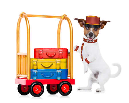 pet services: jack russell dog pushing a hotel Luggage Cart or trolley full of luggage and bags, ready to check in , in a pet friendly hotel, isolated on white background