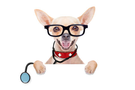 animal doctor: chihuahua dog as a medical veterinary doctor with stethoscope and first aid kit behind a white and blank banner ,isolated on white background