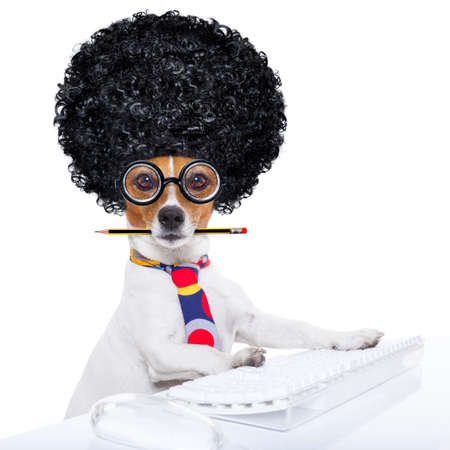 business website: jack russell secretary dog booking a reservation online using a pc computer laptop keyboard ,with crazy silly afro wig , pencil in mouth, isolated on white background Stock Photo