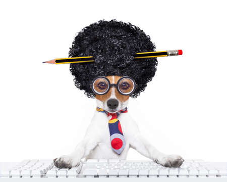 jack russell secretary dog booking a reservation online using a pc computer laptop keyboard ,with crazy silly afro wig , pencil in hair, isolated on white background photo
