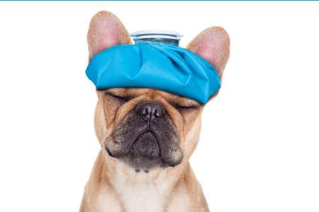 dolor de cabeza: perro bulldog francés con dolor de cabeza y la resaca con la bolsa de hielo o bolsa de hielo en la cabeza ojos cerrados sufrimiento aislado en fondo blanco