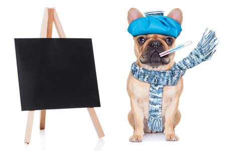 bulldog: perro bulldog franc�s con dolor de cabeza y la resaca con la bolsa de hielo o bolsa de hielo en la cabeza ojos cerrados sufrir junto a una pizarra en blanco y vac�o aislado en el fondo blanco Foto de archivo