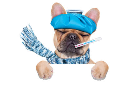 thermometer: french bulldog dog  with  headache and hangover with ice bag on headthermometer in mouth with high fever eyes closed suffering  behind  a blank banner or placard  isolated on white background Stock Photo