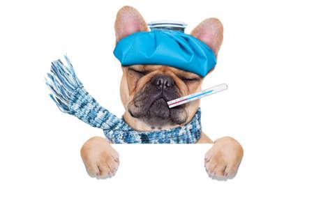 term�metro: perro bulldog franc�s con dolor de cabeza y la resaca con la bolsa de hielo en headthermometer en la boca con grandes ojos fiebre cerrado sufrir detr�s de una pancarta en blanco o cartel aislado sobre fondo blanco Foto de archivo