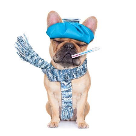 hangover: french bulldog dog  with  headache and hangover with ice bag or ice pack on headthermometer in mouth with high fever eyes closed suffering  isolated on white background Stock Photo