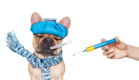 the french way: french bulldog dog  with  headache and hangover with ice bag or ice pack on headthermometer in mouth with high fever eyes closed suffering syringe on its way  isolated on white background Stock Photo