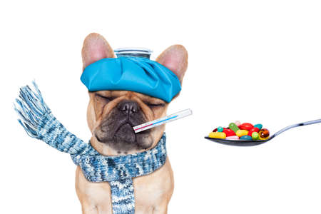 hangover: french bulldog dog  with  headache and hangover with ice bag or ice pack on headthermometer in mouth with  fever eyes closed suffering medication of  pills in a spoon  isolated on white background