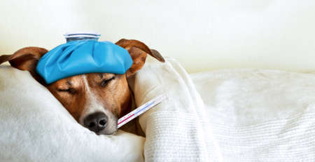 jack russell dog sleeping in bed with high fever temperature ice bag on head thermometer in mouth covered by a blanket Stockfoto