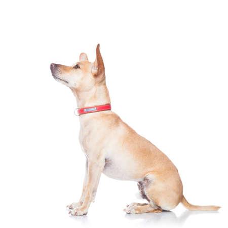 marcheur: chien chihuahua pr�t pour une promenade en laisse avec le propri�taire, isol� sur fond blanc